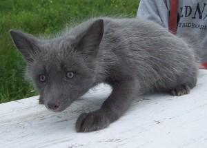 Pearl fox pup