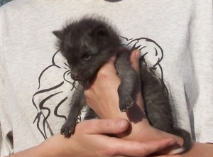 Silver fox pup in May